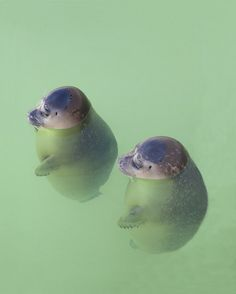 Orphan baby seals at a rescue center in The Netherlands by Ad Vermeulen -- They look like dumplings :)