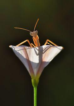 flower and friend (mantis)