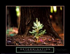 Determination: Little Pine Prints at AllPosters.com