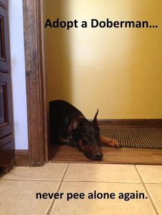 Adopt a Doberman...Never Pee Alone Again so true, they know & want to go everywhere you go !!