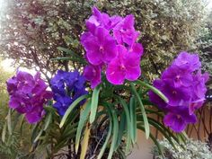 Orquídeas Wanda-