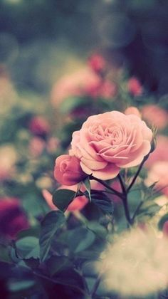 field of roses - Google Search