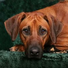 Our rhodesian Ridgeback was a wonderful dog once she got pass the 'chew everything' stage.