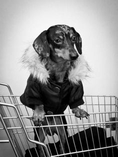 Miniature Dachshunds, Miniatures, Horses, Dogs, Animals, Beautiful, Animales, Animaux, Mini Things