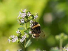 Liste over flerårige urter som kan overvintre ute i norske forhold // moseplassen