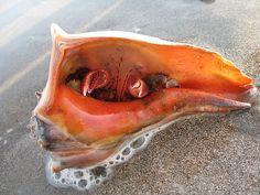 Big hermit crab, Holden Beach, NC, via Flickr.
