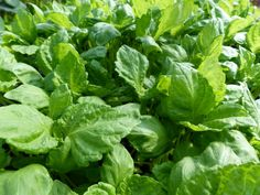 Perilla Green Seeds £1.95 from Chiltern Seeds - Chiltern Seeds Secure Online Seed Catalogue and Shop