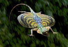 "A flying dragon lizard avoids danger by opening two large, winglike flaps of skin and gliding from tree to tree. The lizard steers and brakes with its tail. The large flaps are supported by elongated ribs which they can expand and retract. The wings are brightly colored and for this reason they are also called the ""butterfly lizard""."