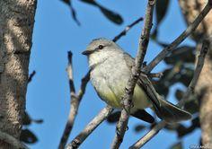 Chapada Flycatcher - Suiriri affinis
