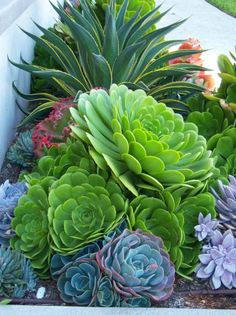 Beautiful and Big Succulents (Rogers Gardens Landscape) Succulent Landscaping, Succulent Gardening, Garden Plants, Garden Landscaping, Organic Gardening, Landscaping Design, Air Plants, Succulent Arrangements, Cacti And Succulents