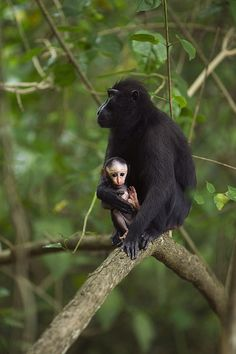 Female Black Crested or Celebes Macaque (Macaca Nigra) with her baby, in Tangkoko National Park, Sulawesi_ Indonesia