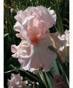 Embrace Me - Tall Bearded Iris