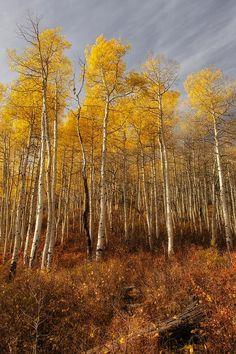 Autumn aspens under streaked cloudy sky