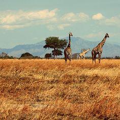 On safari in Mikumi National Park, Tanzania.
