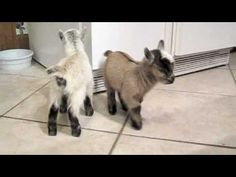 Pygmy Goats Charlie and Lily. Too cute!