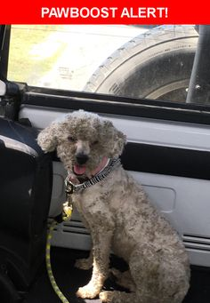 Is this your lost pet? Found in San Antonio, TX 78252. Please spread the word so we can find the owner!  Small white male poodle looks to have been freshly groomed but now is covered in burs   Near Chase Canyon & Blosom Canyon