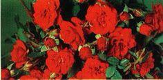Hvis du finner roser i denne fargen, hadde det vært fint om du kunne tatt bilder av de og sendt de til meg. Er viktig å få riktig farge på rosene:)