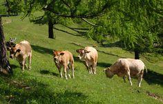 Die Kühe fühlen sich wohl im Naturpark Almenland #naturparkalmenland #almenland #rinder #almo Animals, Cattle, Summer, Animales, Animaux, Animal, Animais