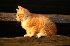 Kissa, Kissanpentu