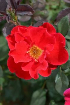 2014 New Rose Introductions - Certified Roses: Miracle on The Hudson™