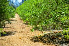 Cyprus orange grove. Nothing better than fruit straight from the tree!