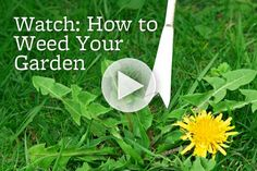 Are weeds popping up in your garden? Get tips and tricks for getting rid of them here: http://www.bhg.com/videos/m/59978409/how-to-weed-your-garden.htm