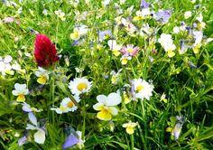 "Pictorial Meadows ""Pollinator Lawn"" Perennial Mix"