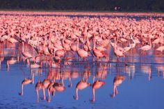 Migración flamencos en Lago Nakuru