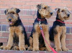 Airedale Love x3