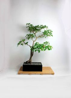 "Mature Trident Maple Bonsai Tree ""Summer'16 Maple Collection"" from LiveBonsaiTree by LiveBonsaiTree on Etsy"