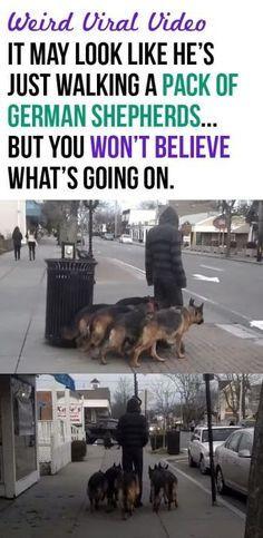 It May Look Like He Is Just Walking A Pack Of German Shepherds… But Look Closer…