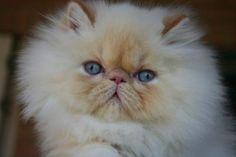 gatti persiani bianchi con occhi azzurri - Cerca con Google