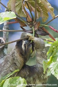 """Wildlife photographer Suzi Eszterhas talks about her new photo book """"Sloths: Life in the Slow Lane. Dark Mask, Funny Romance, Three Toed Sloth, Cute Sloth, Book Aesthetic, In The Tree, Classic Books, Book Photography, Spirit Animal"""