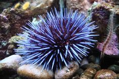 sea urchin - Buscar con Google