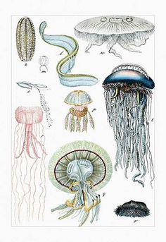 Collection of Jellyfish