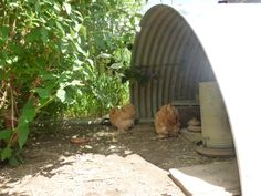 Great shelter - half a tank for outdoor free ranging chooks. Plenty of space to stay dry and get good ventilation. Buff Pekin bantams love it.