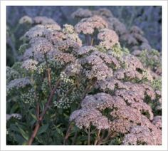 "Sedum 'Matrona'  90 of 100 must have garden plants, 'chosen by people like Dan Pearson, Piet Oudolf, Fergus Garrett and others..."" http://www.juniperhillfarmnh.com/2011/03/100-must-have-garden-plants.html"