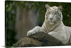 Melanistic or white Bengal Tiger adult resting