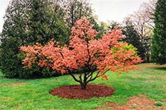 Click to view a full-size photo of Seigai Japanese Maple (Acer palmatum 'Seigai') at Stonegate Gardens