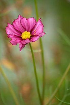 Summer Love ~ cosmos by Diana Graves Photography