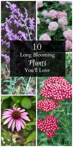 I plant different plants that bloom at different times! Learn about 10 long blooming plants that work well in a many gardens. One is a shrub and the rest are perennials which means that will come back every year. Garden Shrubs, Lawn And Garden, Indoor Garden, Bushes And Shrubs, Shade Garden Plants, Fence Garden, Garden Sofa, Rain Garden, Garden Bar