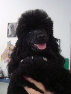 barboncino nano a fashion dog