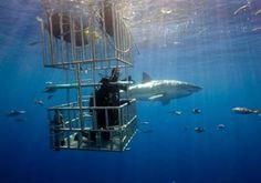 Great White Shark Diving - #GoEco #volunteerabroad