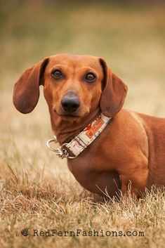 Short Haired Dachshund, Dapple Dachshund Puppy, Dachshund Puppies For Sale, Dachshund Love, Miniature Dachshunds, Weenie Dogs, Puppy Clothes, Puppy Care, Dog Photography