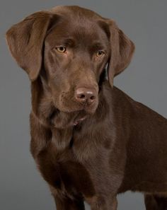 Undefeated Reigning Champ: The Labrador Retriever is the No.1 Breed 2012 – Its a Lab Thing