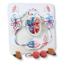 Función del corazón y el sistema circulatorio