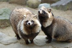 タヌキ / Raccoon dog