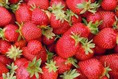 Strawberry Fields - Strawberry Fields, formally known as Fresh Strawberries, is an amazing fresh strawberry flavor that is sure to satisfy everybody Across the Universe from Elanor Rigby to Lovely Rita. Wallpapers Frutas, Everbearing Strawberries, Can Dogs Eat Strawberries, Strawberry Pictures, House Plant Delivery, House Plants For Sale, Strawberry Planters, Fruit Seeds, Beautiful Fruits