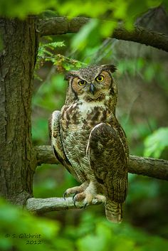 Great Horned Owl by Steve Gilchrist, via Flickr