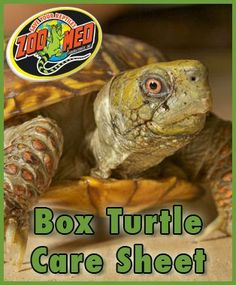 Check out Zoo Meds custom Care Sheet for Box Find more Care Sheets available on our website. Turtle Care, Pet Turtle, Mock Turtle, Tortoise Care, Tortoise Turtle, Box Turtle Habitat, Box Turtles, Eastern Box Turtle, Reptile Room